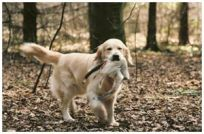 Golden Retriever Susanne Jensen kennel Hot-News goldenhvalpe hvalpe hot news