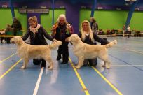 Golden retriever goldenhvalpe hvalpe kennel Hot-News Susanne Jensen