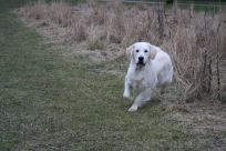 kennel hot news hot-news golden retriever hvalpe goldenhvalpe susanne jensen goldenretrievers