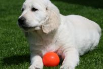 kennel hot-news goldenhvalpe hvalpe hot news susanne jensen golden hvalpe goldenretriever