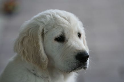 kennel hot news goldenretriever goldenretriever hvalpe goldenhvalpe susanne jensen hot-news