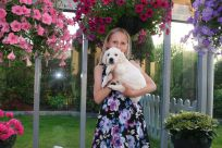 hvalpe goldenhvalpe goldenretriever goldenretrievers susanne jensen kennel hot news
